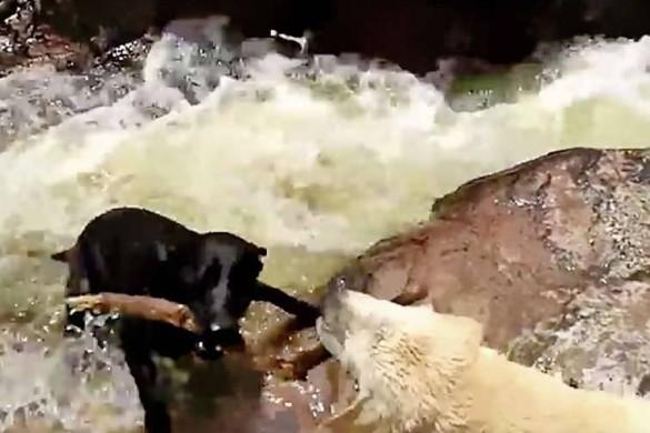 Séquence émotion : un labrador sauve un autre chien de la noyade