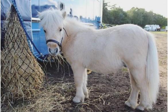 Découvrez Teddy The Shetland, le poney star d'Instagram.