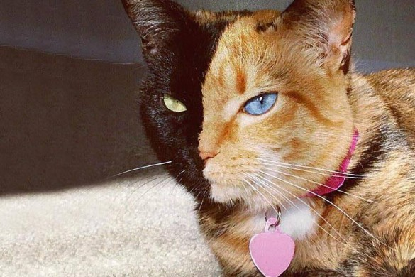 Venus, la chatte aux deux visages